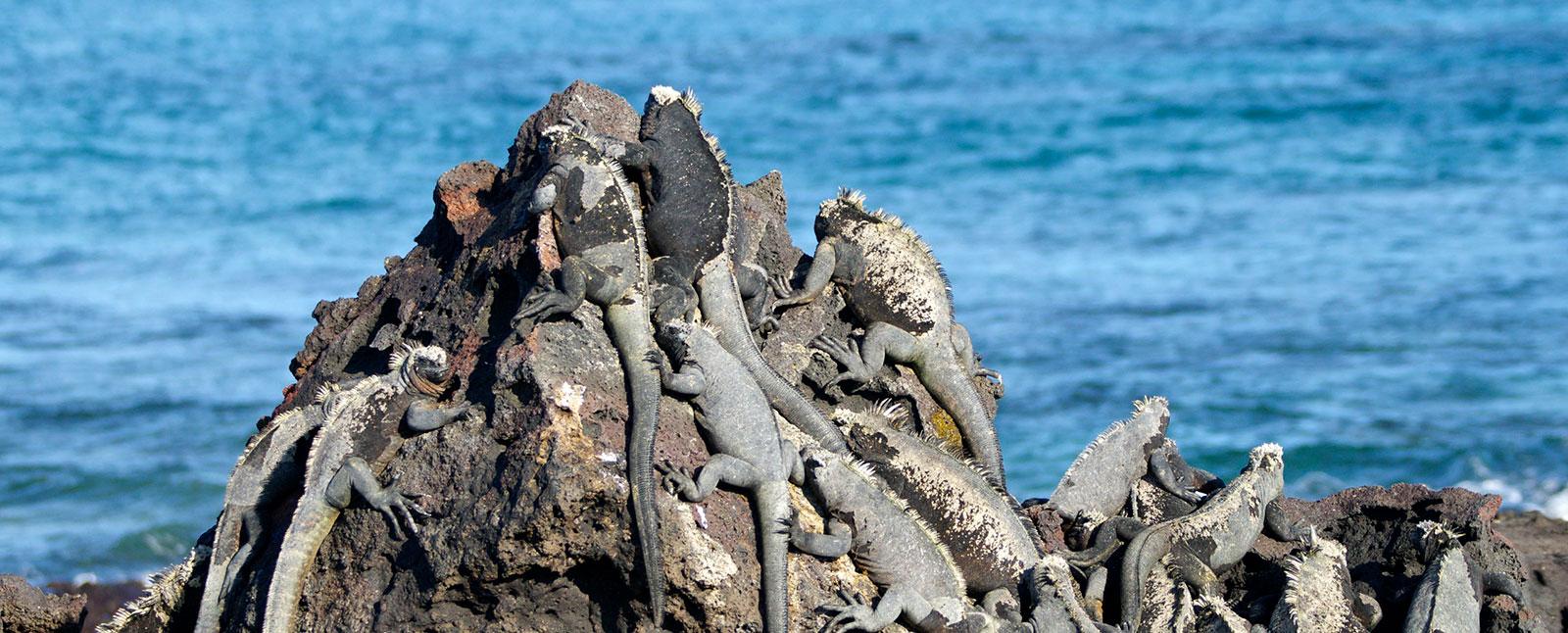 iguanas Galapagos
