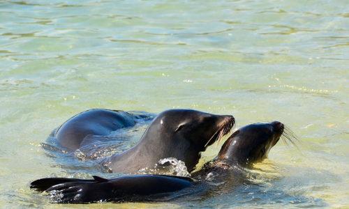 Galápagos Lion Seal